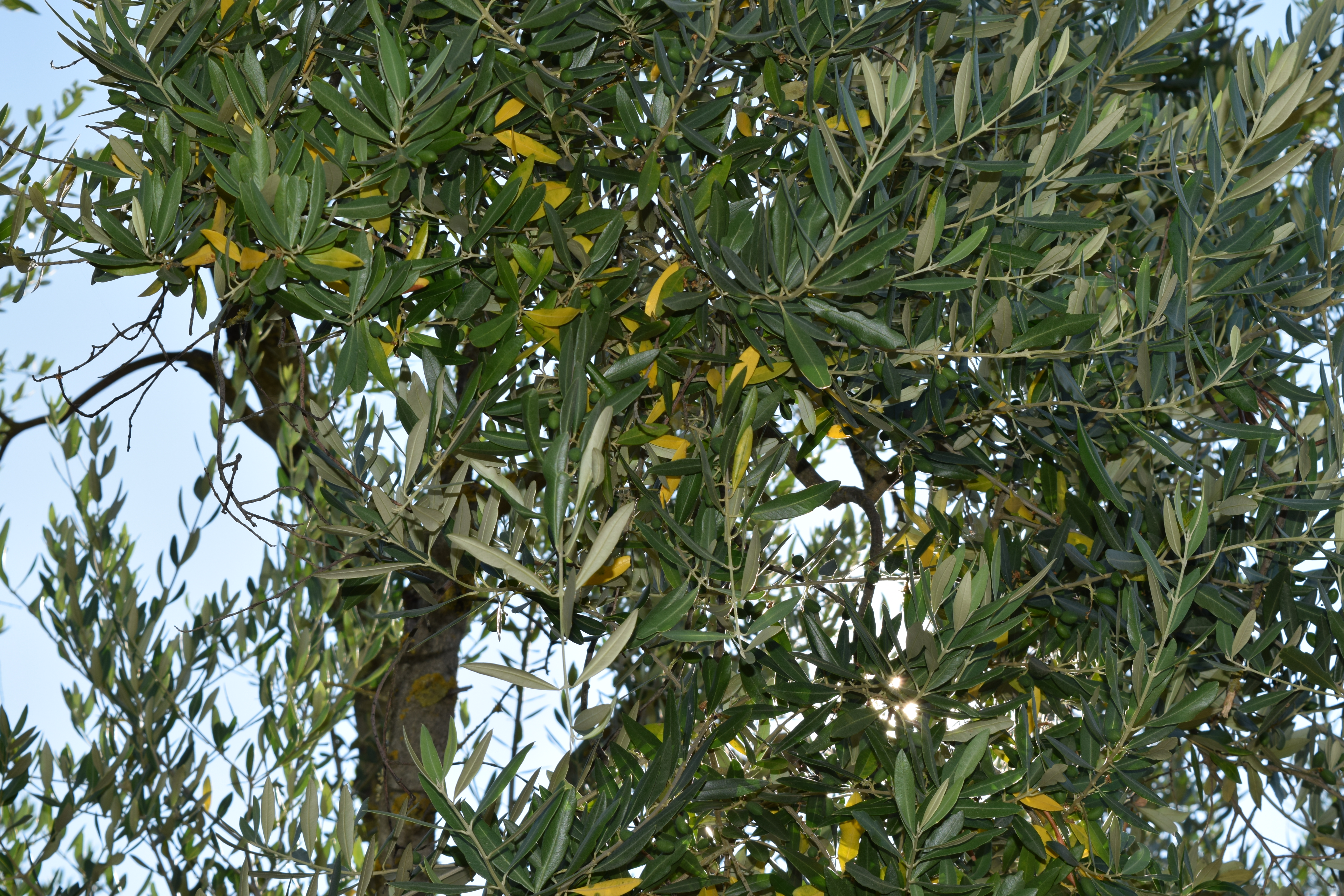 Olive tree in Tuscany Italy