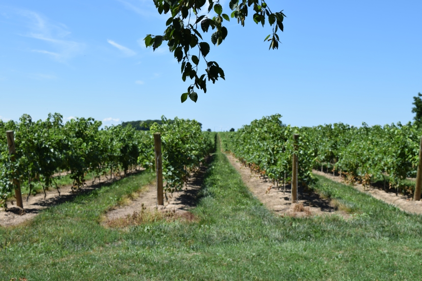 Vineyard in Niagara on the Lake