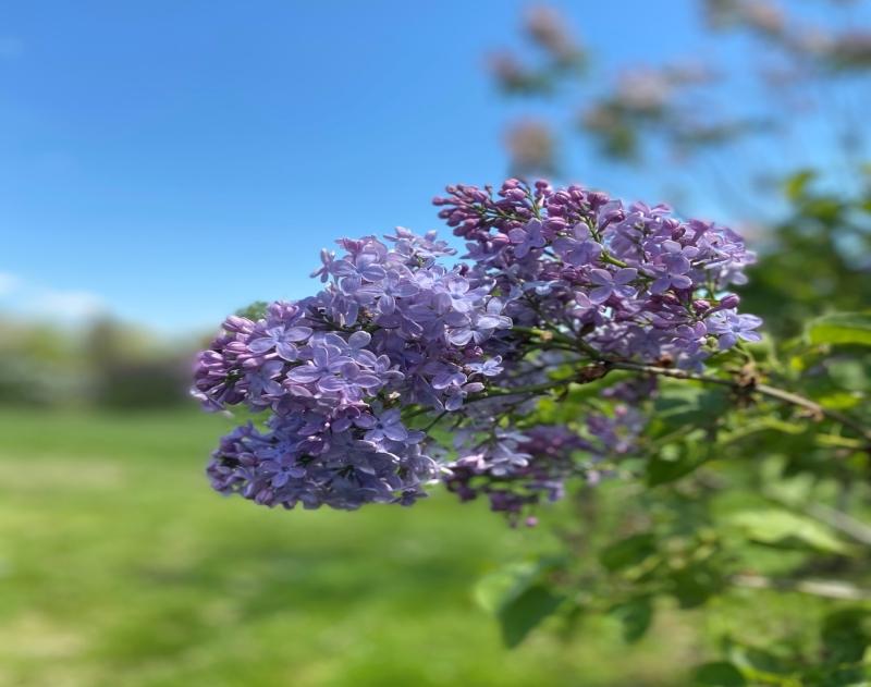Centennial Lilac Garden Niagara Falls Ontario Canada. A great place to visit when the lilacs bloom each spring.