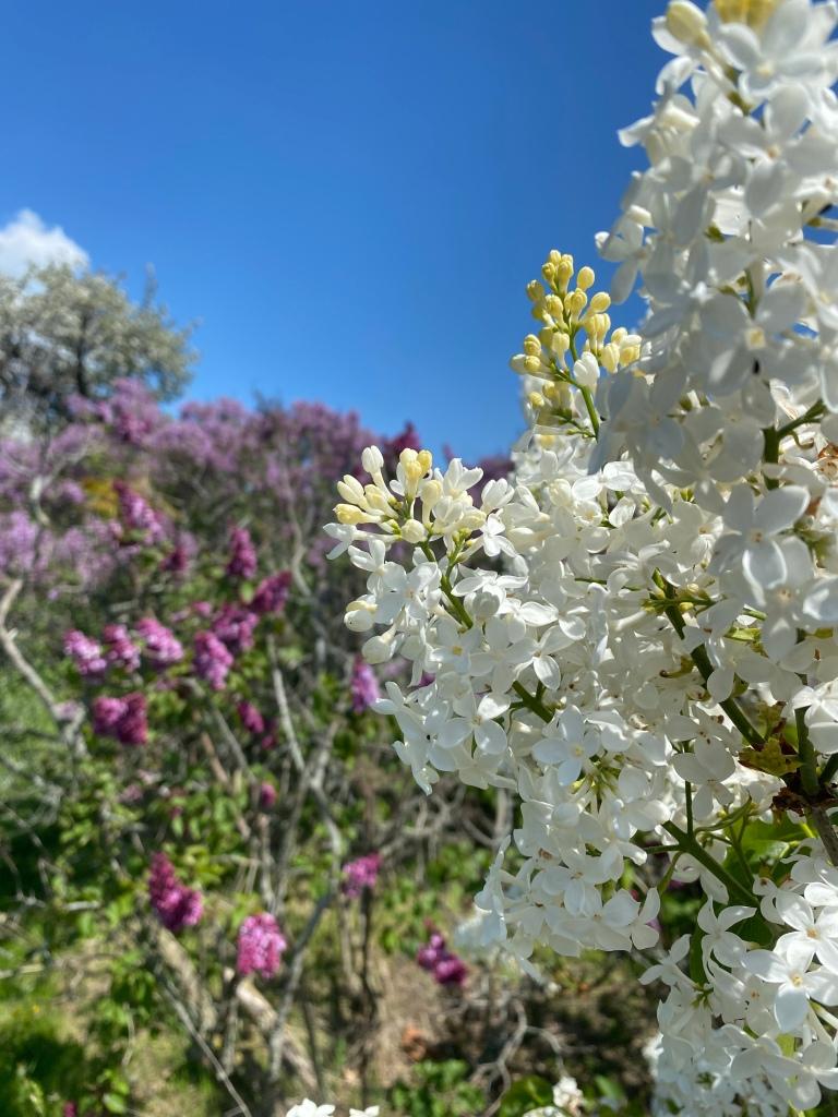 Centennial Lilac Garden Niagara Falls Ontario Canada